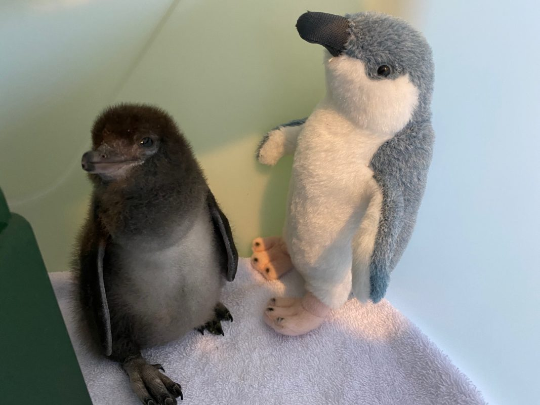 baby penguin with toy